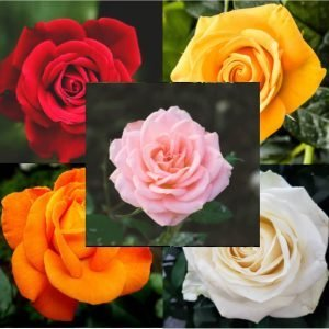 ROSE BOUQUET – CHOICE OF COLOURS